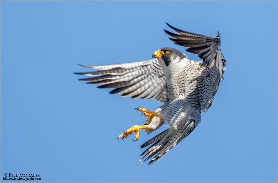 Peregrine-Falcon-05