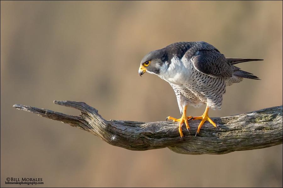 Peregrine-Falcon-06