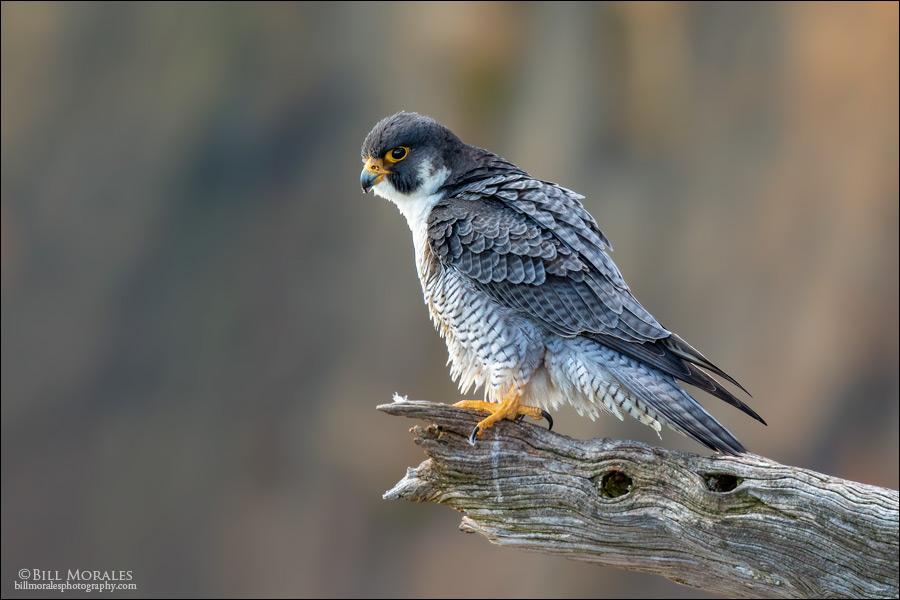 Peregrine-Falcon-09