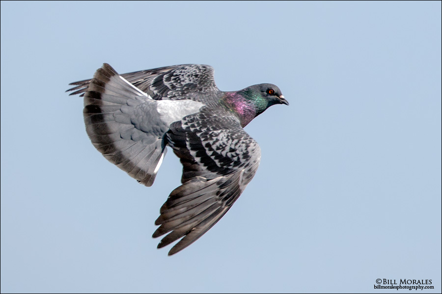 Rock Dove 01