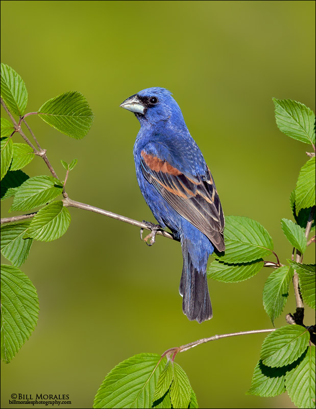 Blue-grosbeak-02