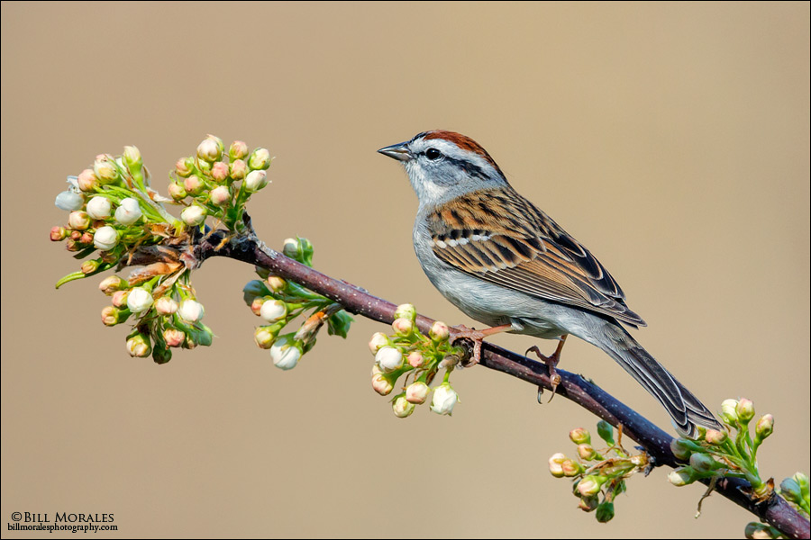 Chipping-Sparrow-02