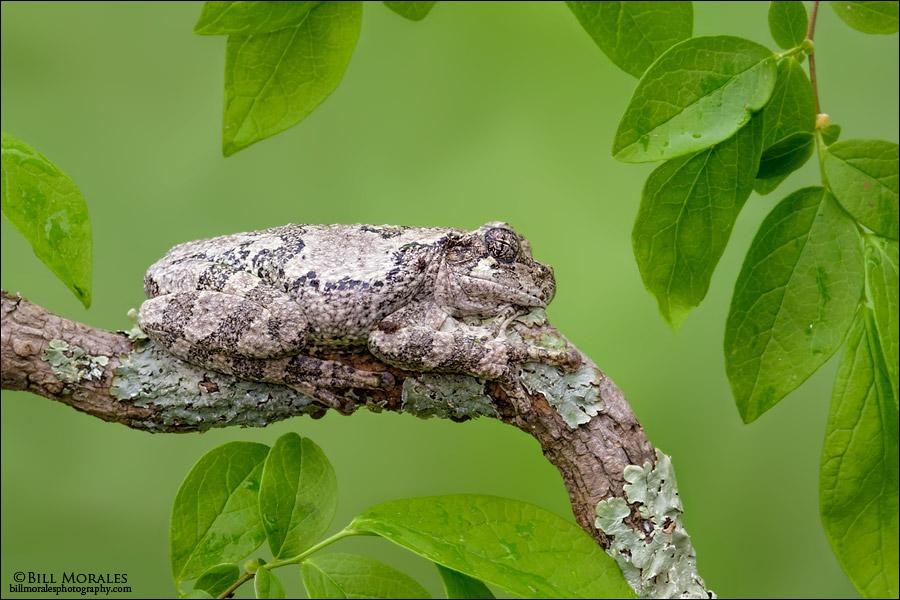 Cope's-Gray-Treefrog-01