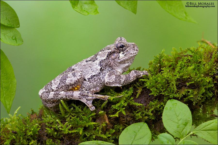 Cope's-Gray-Treefrog-02