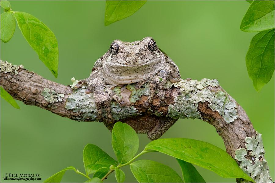Cope's-Gray-Treefrog-03