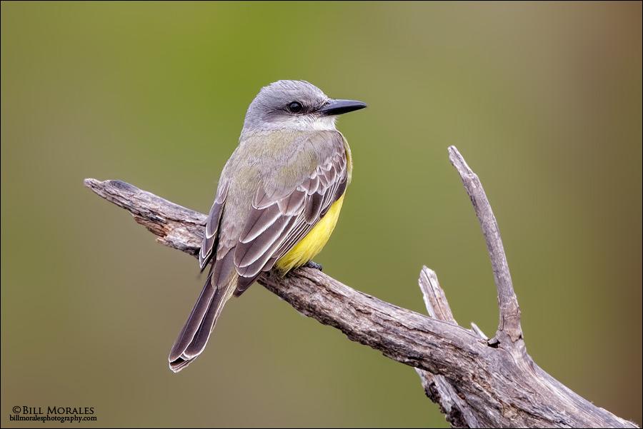 Couchs-Kingbird 01
