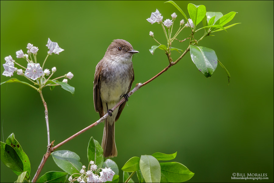 Eastern Wood Pewee 01