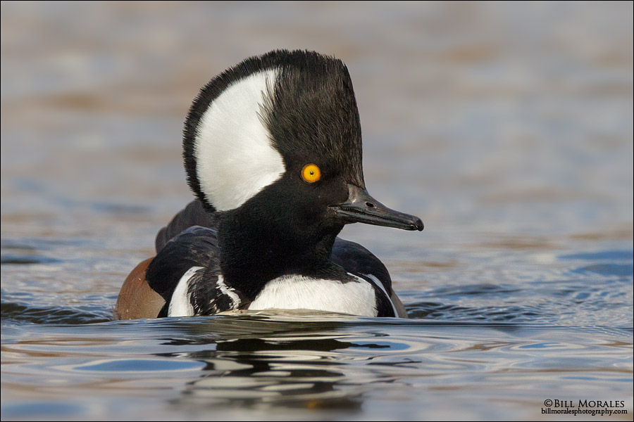 Hooded Merganser 02