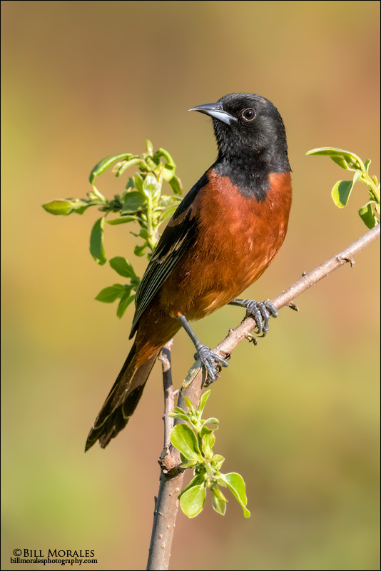Orchard-Oriole-02