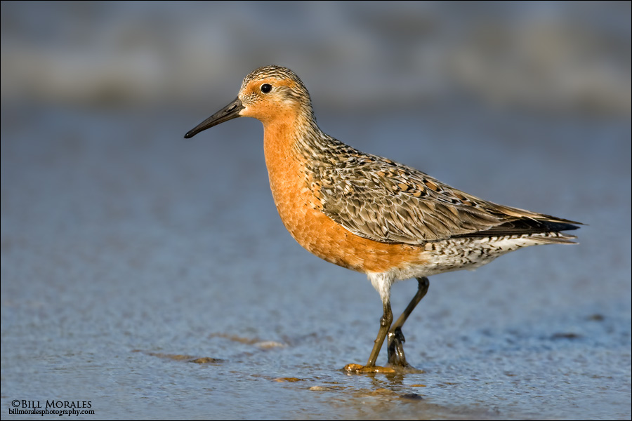 Red Knot 01