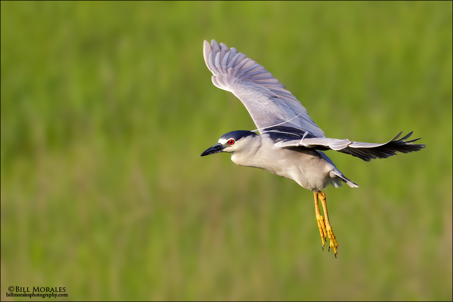Black-crowned-Night-Heron-03-1