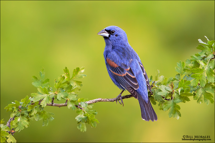 Blue-grosbeak-03