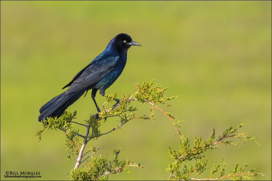 Boat-tailed Grackle 01