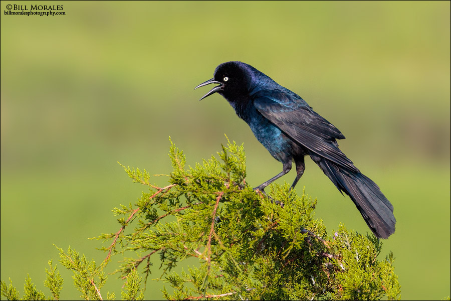 Boat-tailed Grackle 03