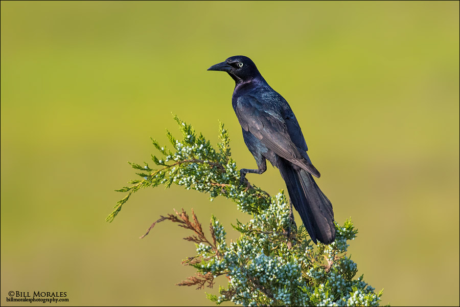 Boat-tailed Grackle 04