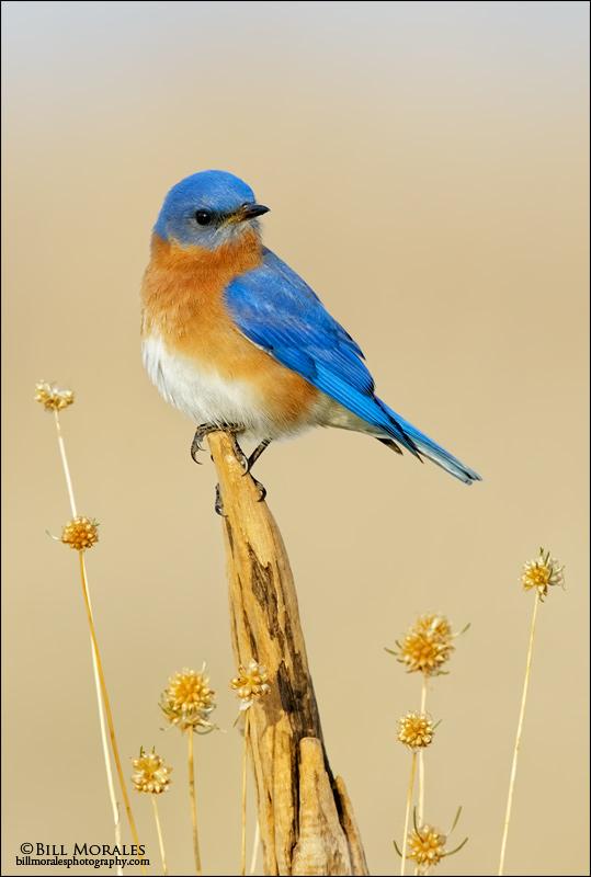 Eastern-Bluebird-3