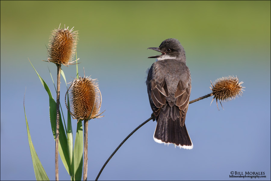 Eastern-Kingbird-03