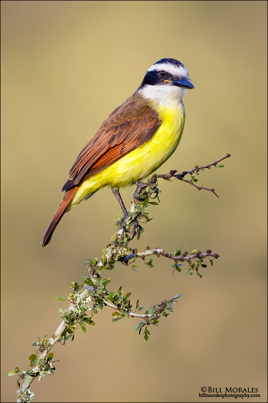 Great-Kiskadee-01-1