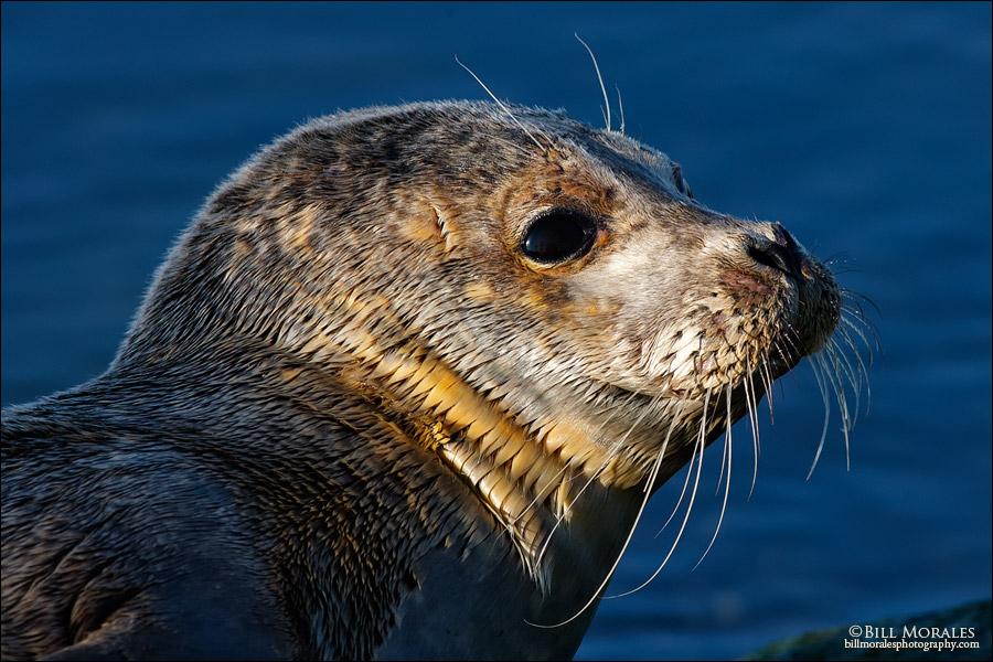 Harbor Seal 01