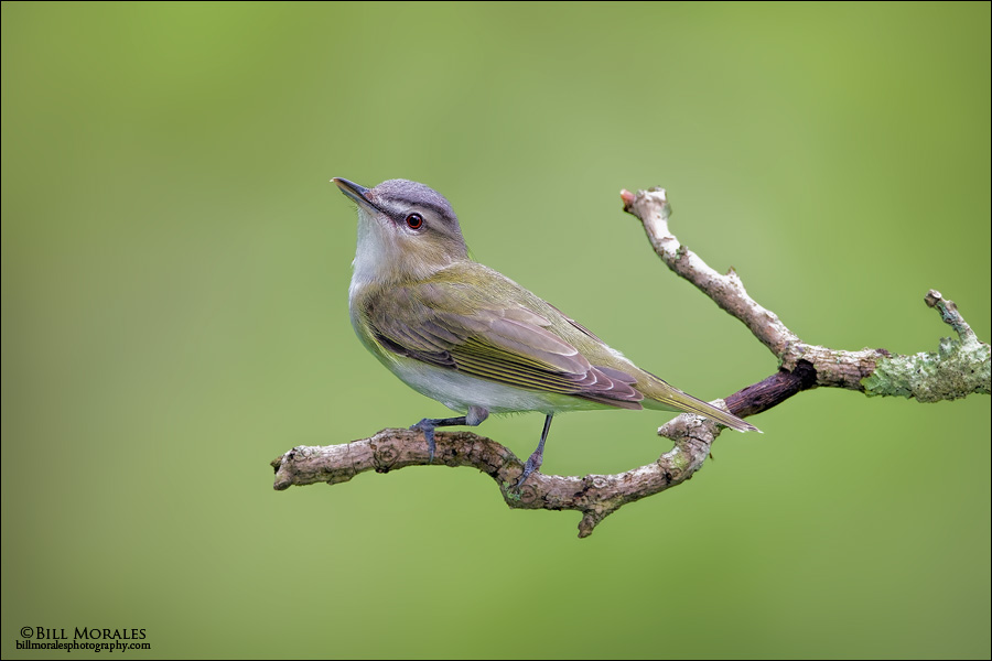 Red-eyed Vireo 01
