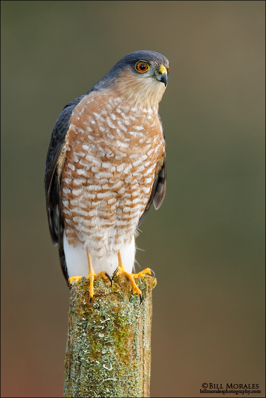 Sharp-shinned Hawk 01