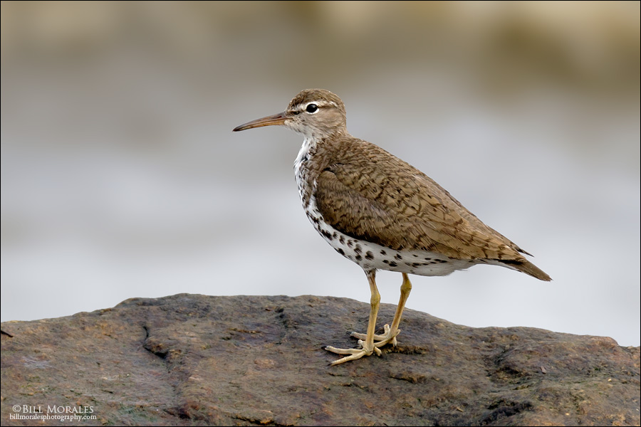 Spotted-sandpiper-01