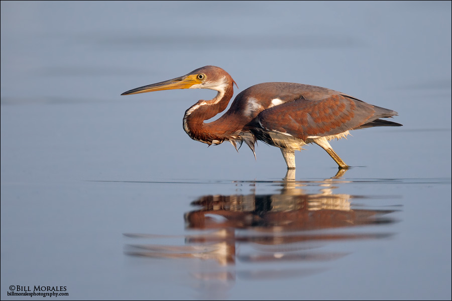 Tricolored Heron 01