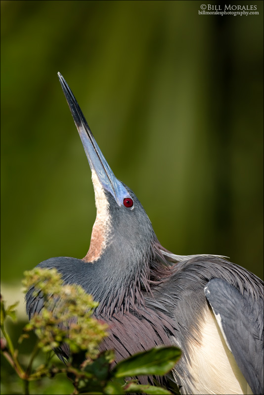Tricolored Heron 02