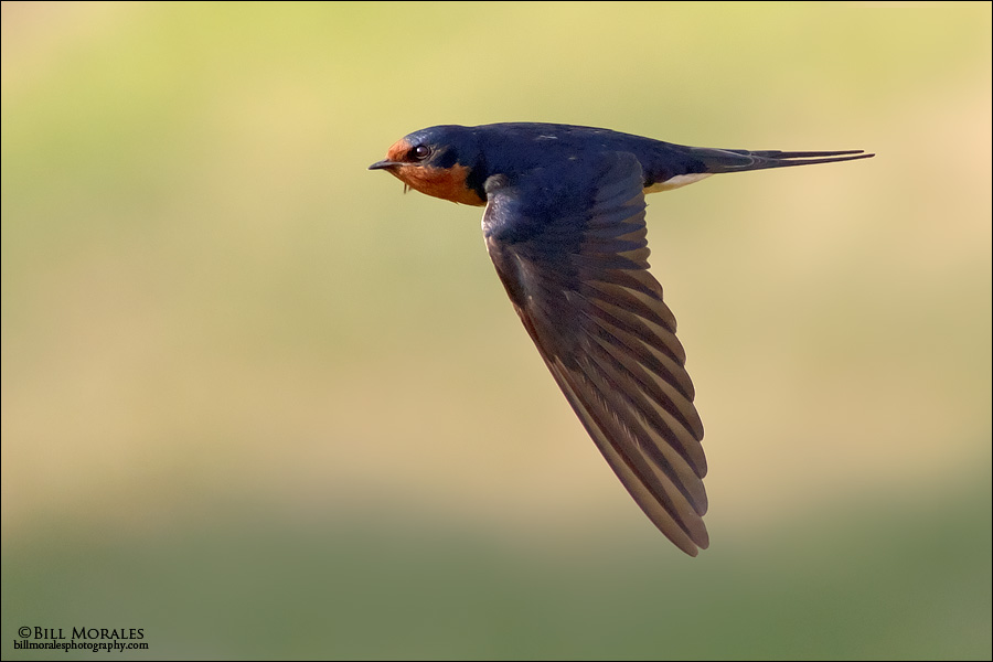 Barn Swallow 01