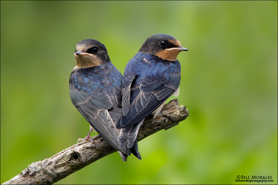 Barn Swallow 02