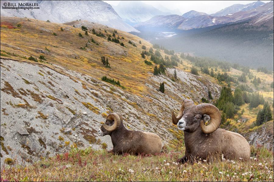 Bighorn-Sheep-04