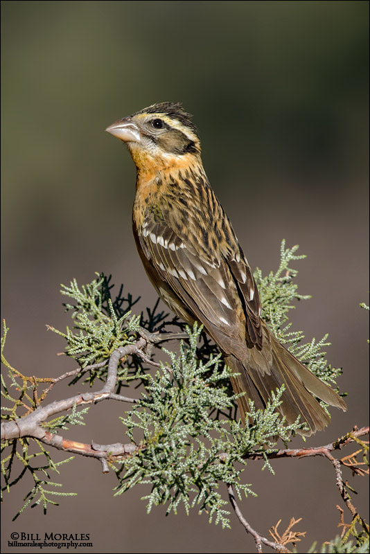 Black-headed-Grosbeak-02