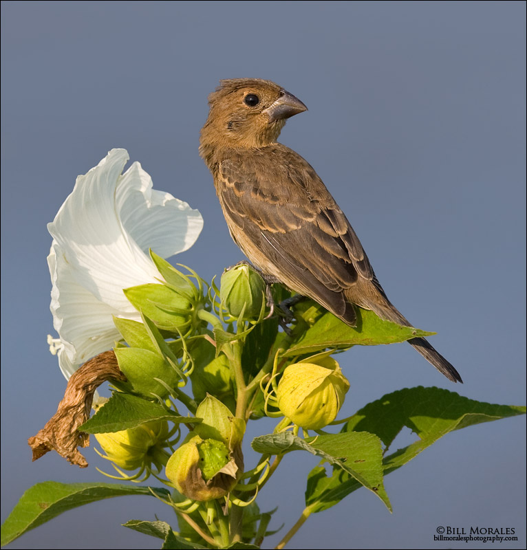 Blue-grosbeak-04