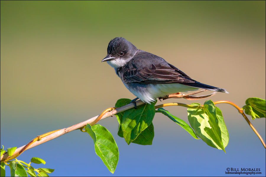 Eastern-Kingbird-02-2