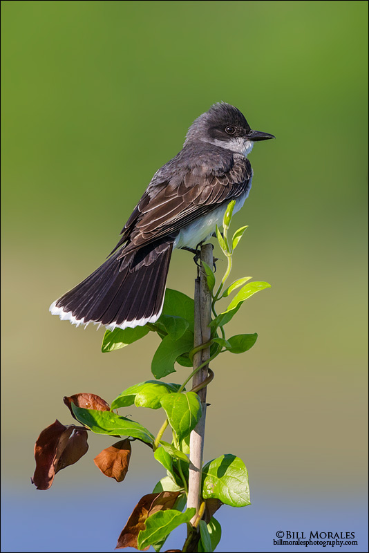 Eastern-Kingbird-04-2