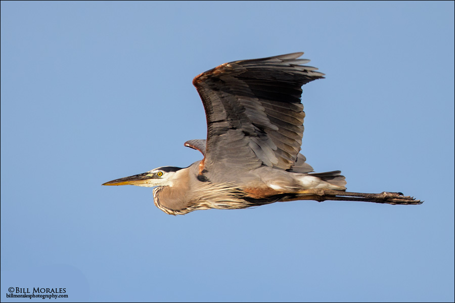 Great Blue Heron 02