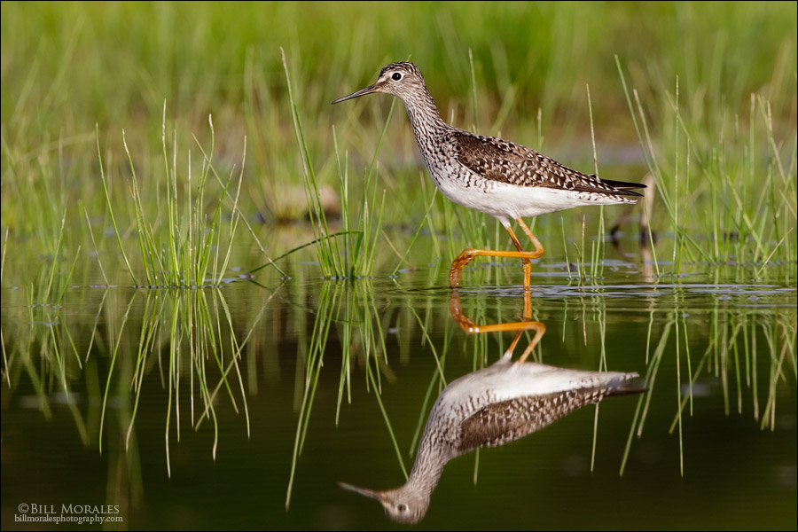 Greater Yellowlegs 01