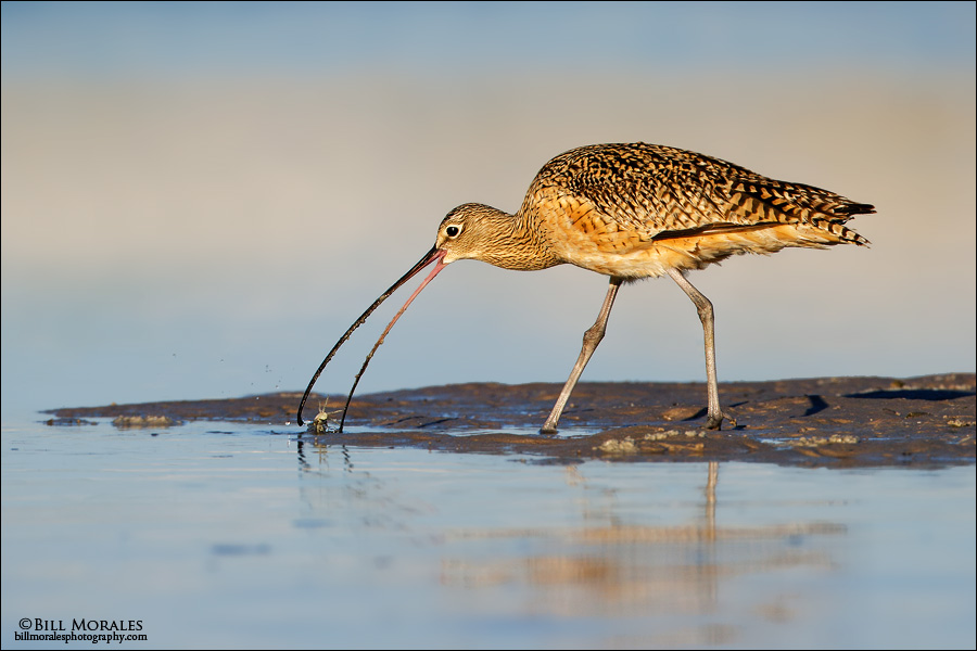 Long-billed-Curlew 02
