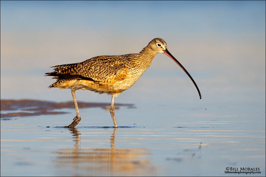 Long-billed-Curlew 03