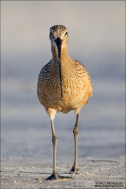 Long-billed-Curlew 04
