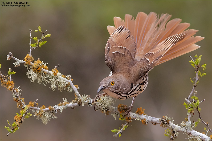 Long-billed-Thrasher-02