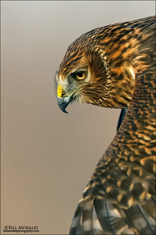 Northern-Harrier-07
