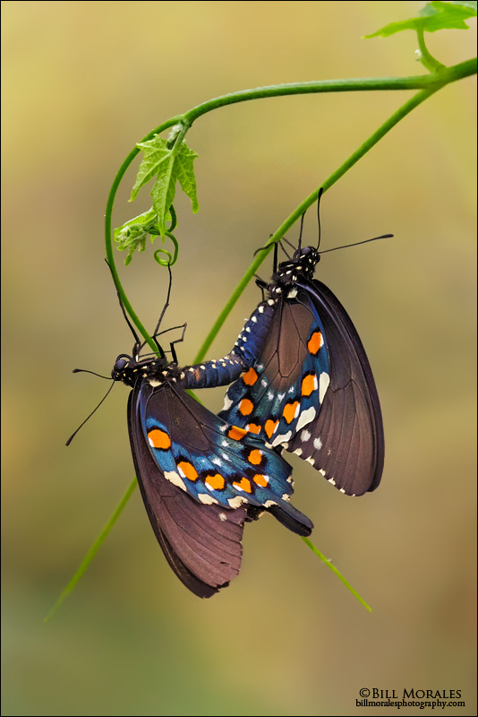 Pipevine Swallowtail 01