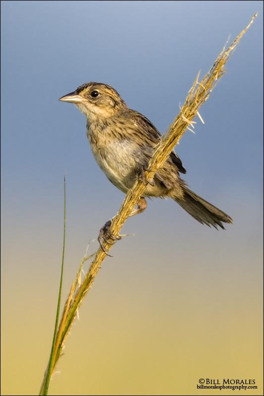 Seaside-Sparrow-02