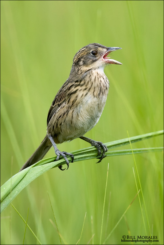 Seaside-Sparrow-03