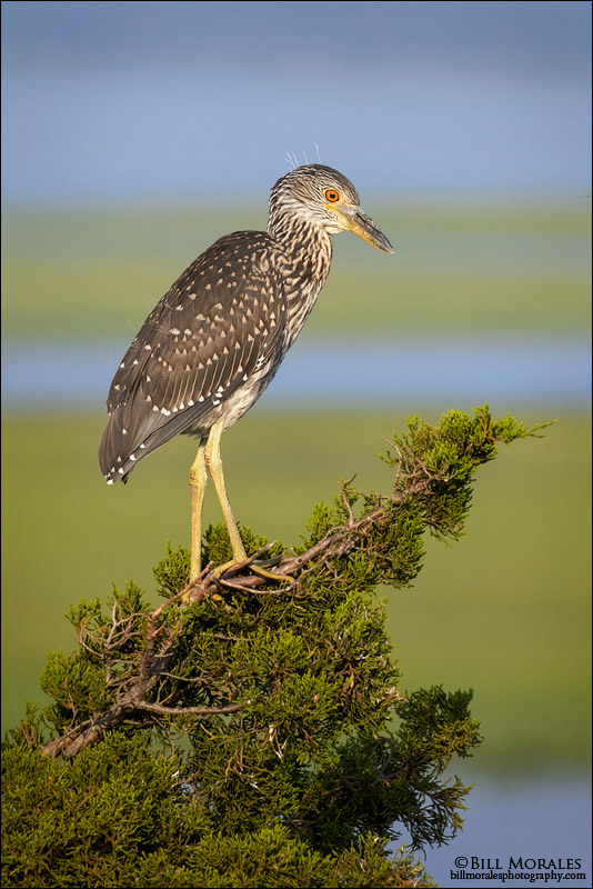 Yellow-Crowned-Night-Heron-03