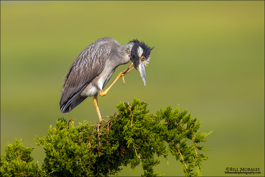 Yellow-Crowned-Night-Heron-04