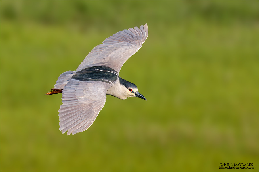 Black-crowned-Night-Heron-02-1
