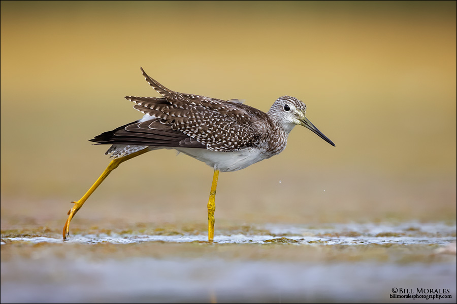 Greater Yellowlegs 02