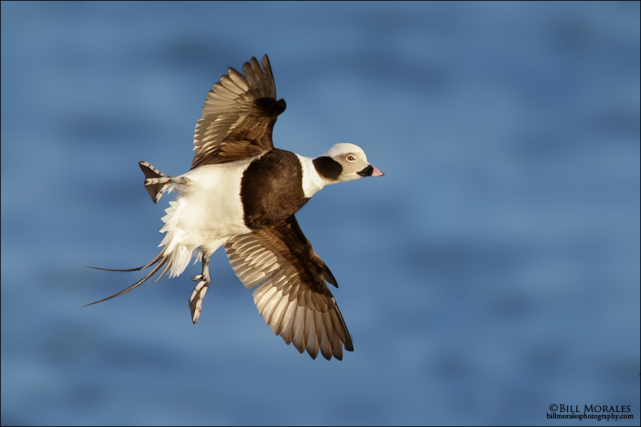 Long-tailed-Duck-02